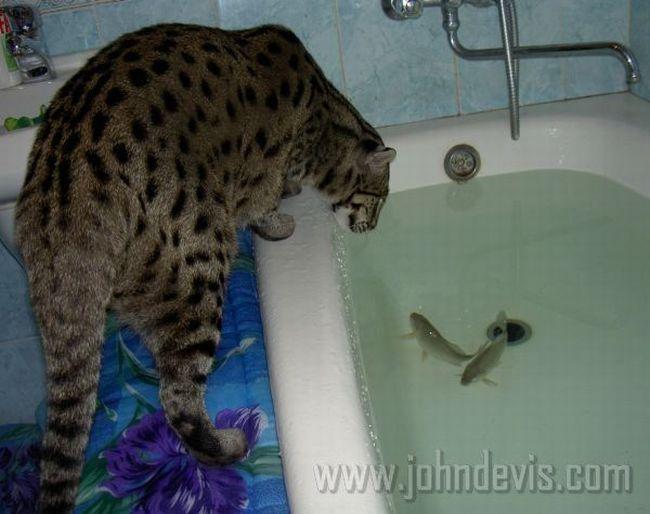 название диких кошек рыбаков
