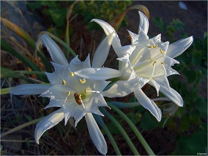 фото райский цветок