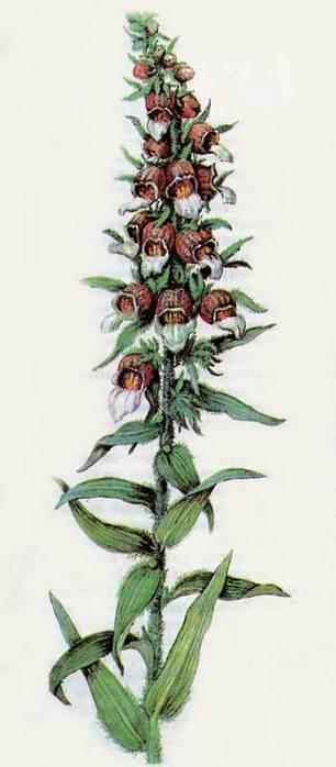 Лекарственные травы от всех болезней.  Целебные свойства пастушьей сумки.