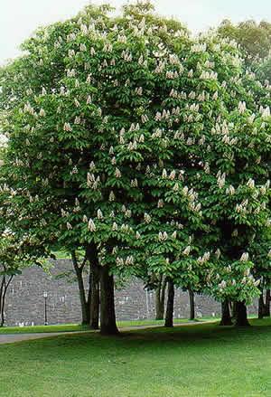 Ее основное воздействие - помочь...  Лиственница.  Еще одно успокаивающее дерево.  Дерево просветления рассудка.