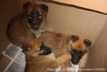 Подарю щенка, помесь длинношерстной бельгийской овчарки малинуа.