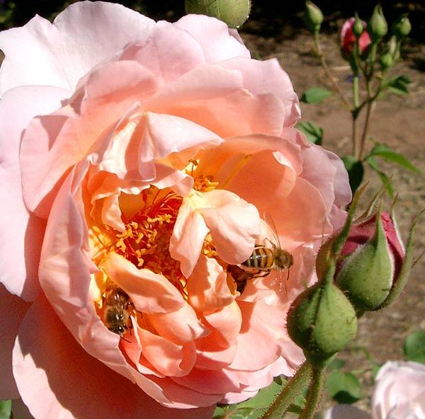 Английские розы селекции Дэвид Остин (50 шт. фото) Часть - 1.