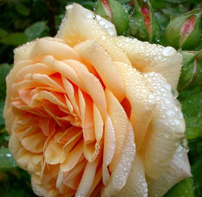 b Английские розы /b селекции Дэвид Остин.