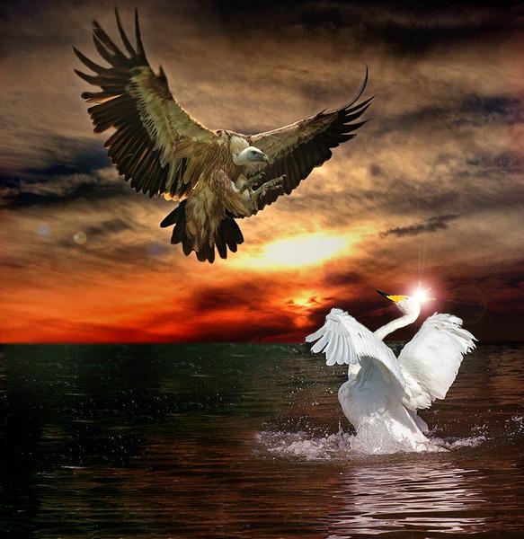 в альбоме.  Опубликовал.  Орёл нападает на царицу-лебедь.  GIF- мои.  Volkodavsha.
