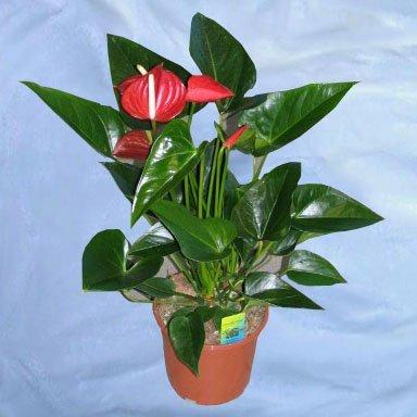 Комнатный цветы мужегоны