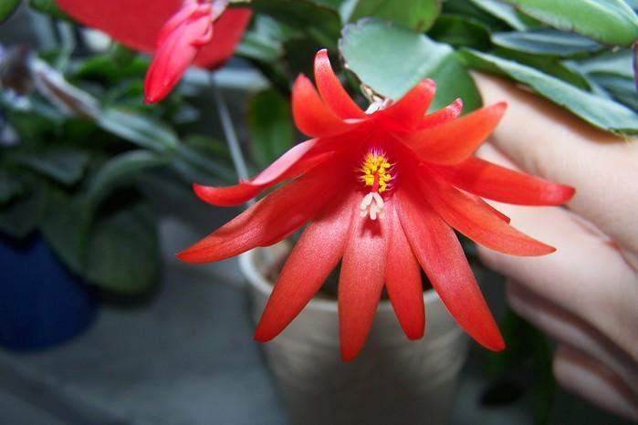 Разновидность цветка декабриста