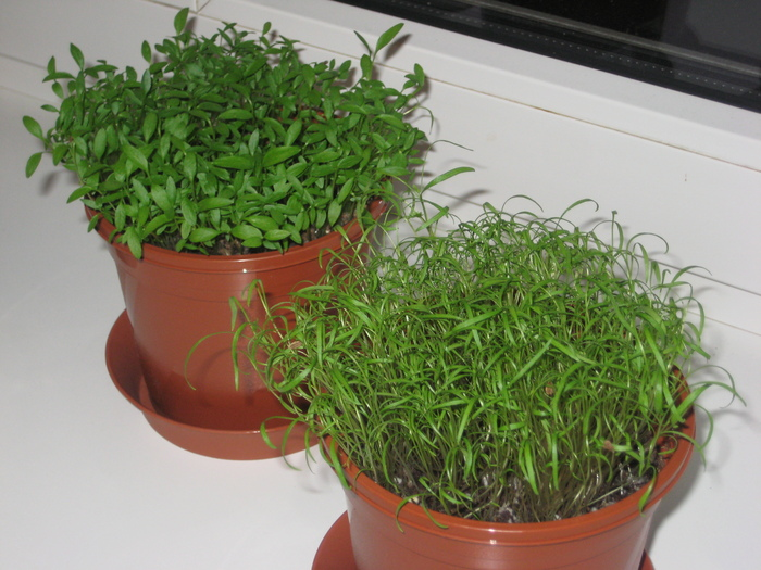 Как в домашних условия посадить укроп