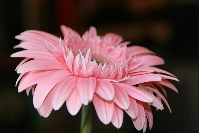 девчонки, у кого нибудь есть схема вышивки розовой герберы? типа таких как на фото?