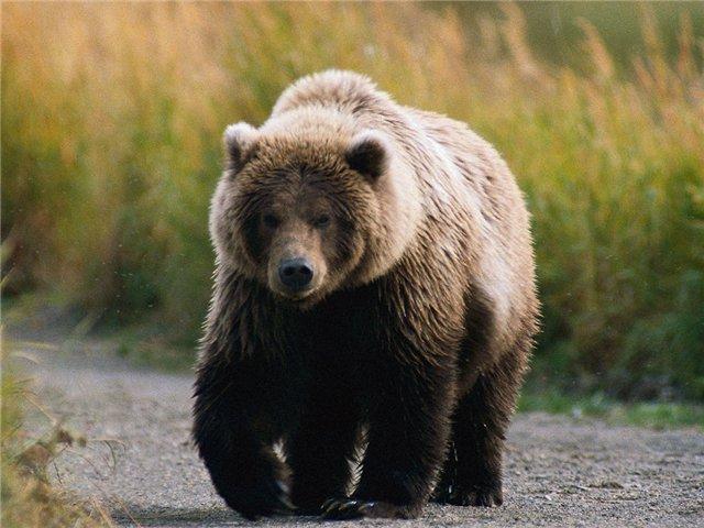 Убежать от преследующего медведя невозможно.