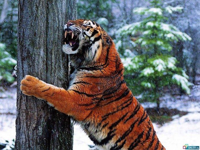 Рамка для фото - в объятиях тигра Используйте эту рамку для фотошопа и