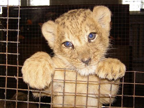 Львы поймали вкусный обед прямо у себя в клетке...