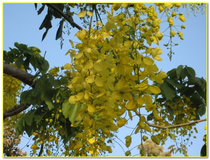 Re цветущие деревья израиля