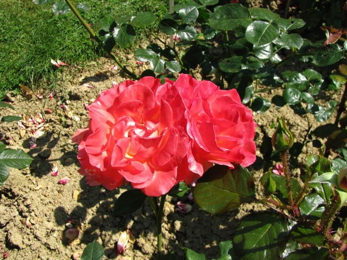 Лей ле роз розарий во франции
