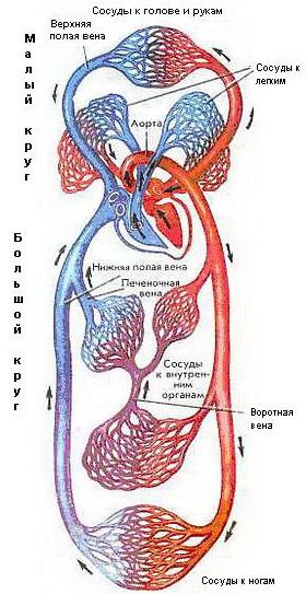 паразиты живущие сердце человека