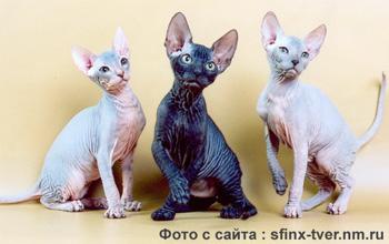 сфинксы кошки фото - фотография 4.