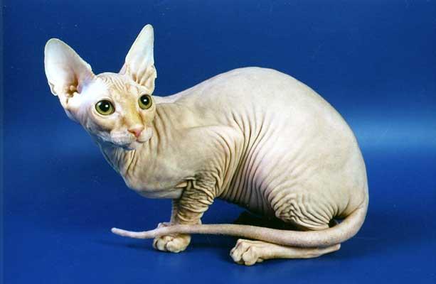 Кошки породы Канадский Сфинкс.