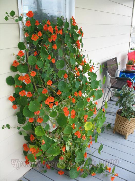 Настурция-это не только цветок, но и полезное растение для с.