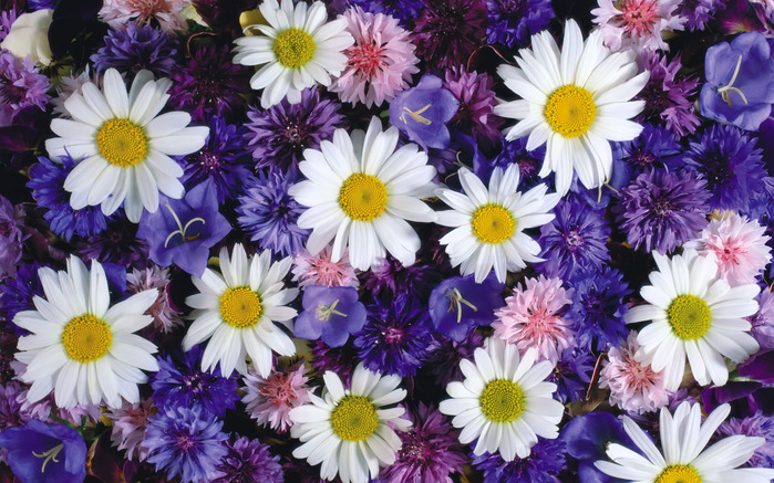 Wallpapers Camomiles Flowers Photo 256190.