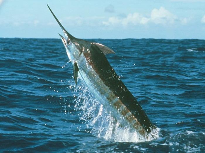 Рыба низко калорийна, богата протеином и кислотами omega-3, которые