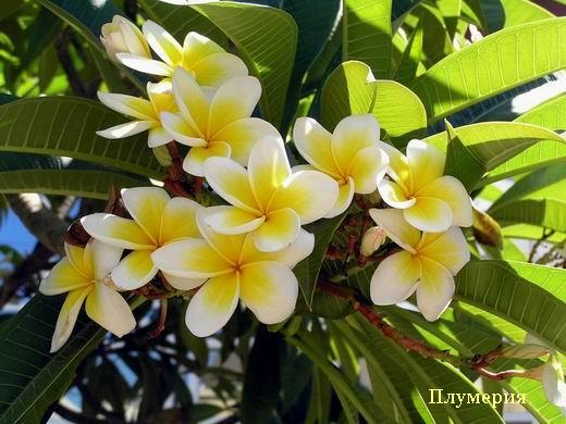Экзотические цветущие деревья. Обсуждение на LiveInternet ...: http://www.liveinternet.ru/users/3109898/post109315467/