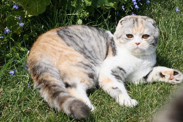 Вислоухие коты линяют
