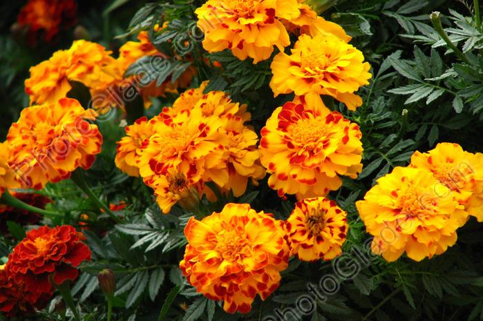 Ремена цветов однолетних и