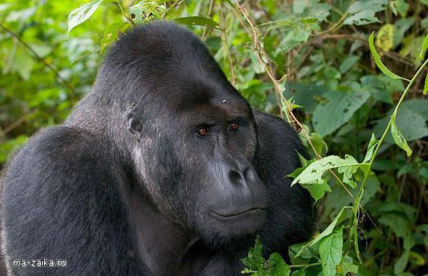 Впервые в истории ученые смогли сфотографировать горилл, занимающихся