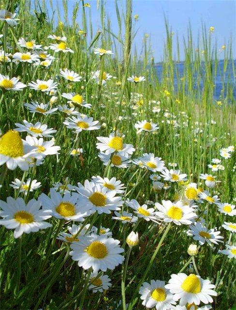 Полевые цветы.. Обсуждение на LiveInternet ...: www.liveinternet.ru/users/3165073/post197866039