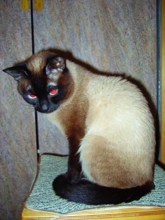 Сиамские обои на рабочий стол коты 5