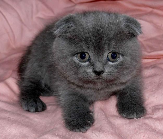 Британские вислоухие котята фото цена.