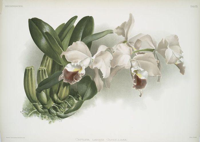Orchids illustrated by Frederick Sander 1888-1894 Ботанические иллюстрации из многотомника Frederick Sander...