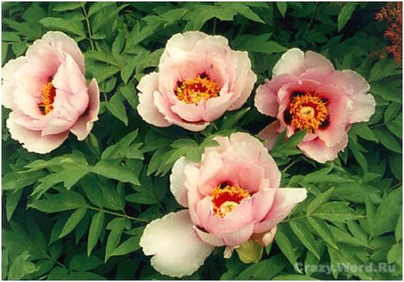 Цветоводы - любители размножают пионы делением куста и корневыми черенками, реже вертикальными отводками...