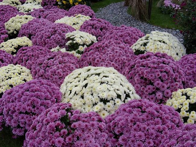 хризантемы - Это бисер!
