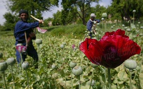 Мак растет в поле Афганистана: кэш опийного мака захваченный британскими вооруженными силами оказалися безвредной фасолью