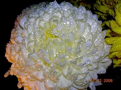 хризантемы игольчатые фото