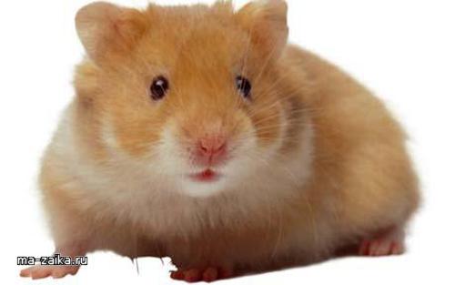 Хомяки были одними из 1700 животных, обнаруженных в автомобиле