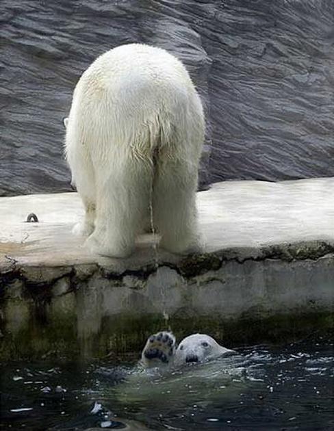 белый медведь писает на другого белого медведя в бассейне зоопарка