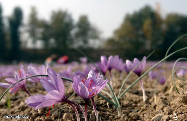 Сбор цветков шафрана в Кашмире