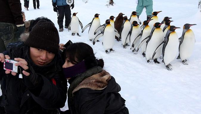 Королевский пингвины гуляют по Асакивамскому зоопарку, Япония, 18 января 2010 года