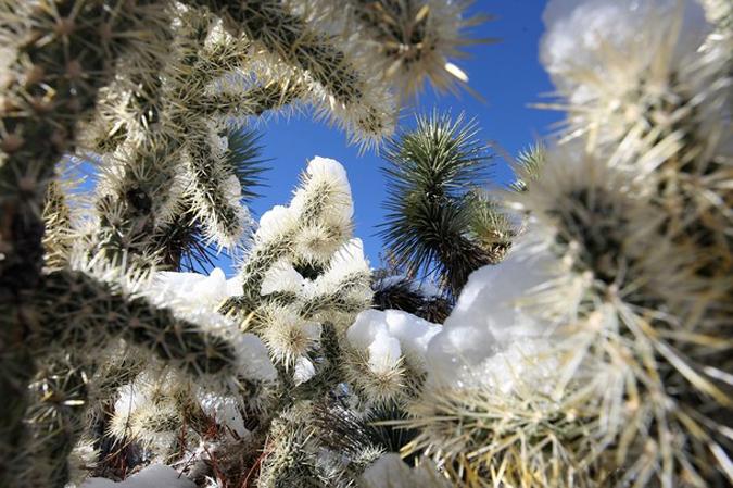 Кактусы под снегом, горы Сан-Габриэль к северо-западу от Wrightwood, Калифорния, 23 января 2010 года.