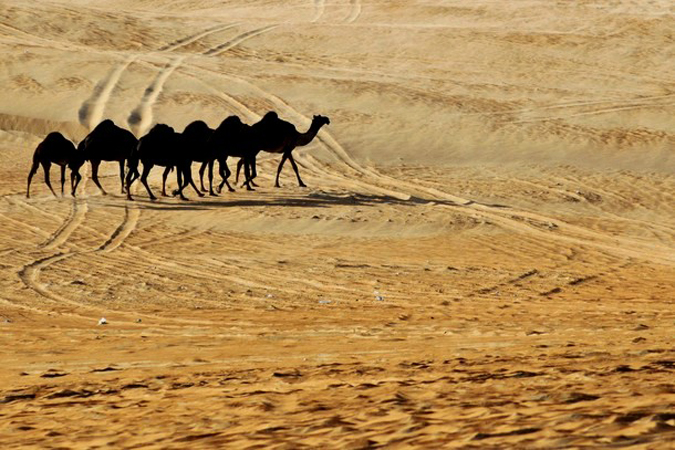 Фестиваль верблюда / Конкурс красоты среди верблюдов (Mazayin Dhafra Camel Festival / Camel Beauty Contest), ОАЭ, Абу-Даби, 8 февраля 2010 года.