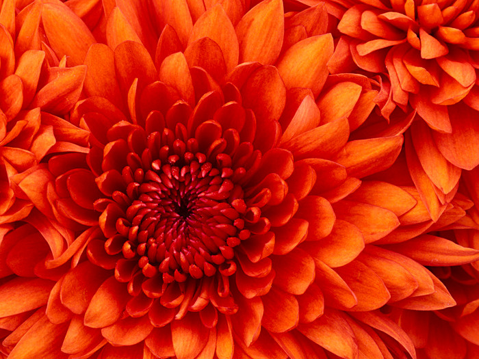 Chrysanthemum (700x525, 179 Kb)