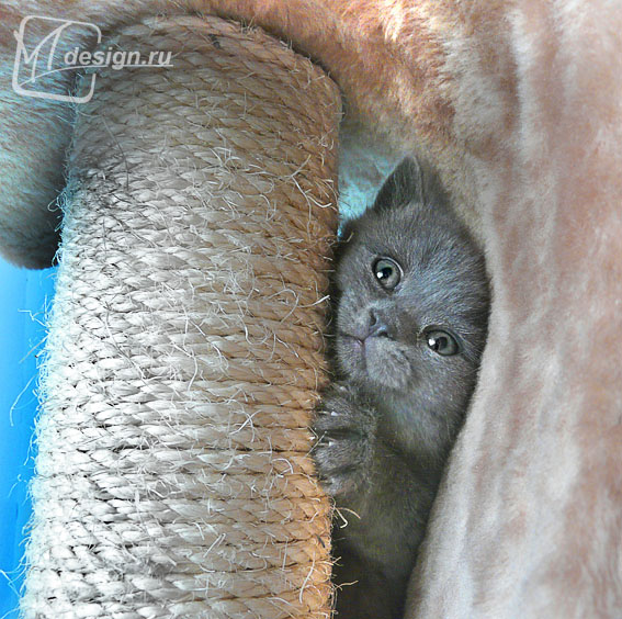 Котенок породы голубой британец