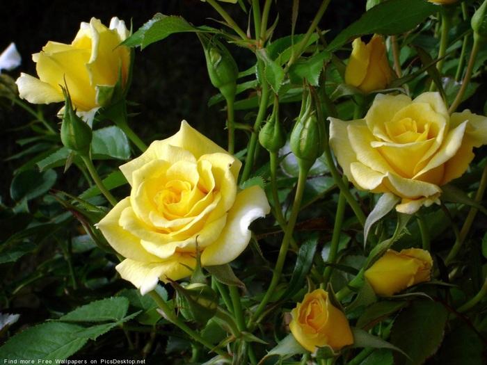 букет жёлтых роз с листиками (700x525, 123 Kb)