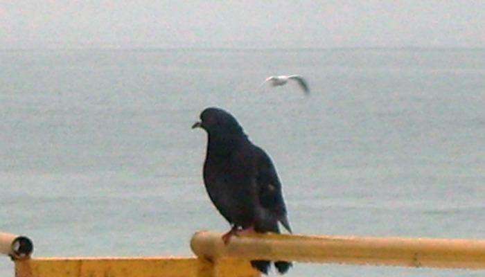 голубь и чайка, голубь на море,