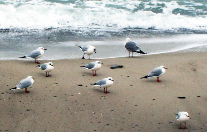 чайки на морском берегу, чайки на море