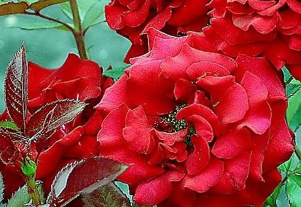 цветы валентины 018 (435x299, 123 Kb)
