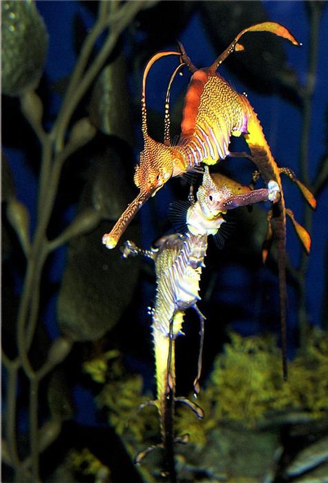 Травяной морской дракон