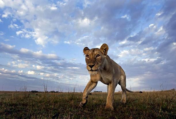 Львица убивает зебру: съемка скрытой камерой | Фото Ануп Шах