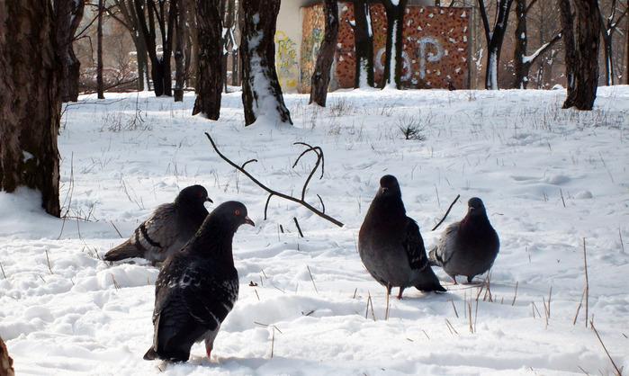 голуби, птицы зимой